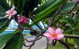 Прекрасный цветок, растущий на набережной нового Панама Сити