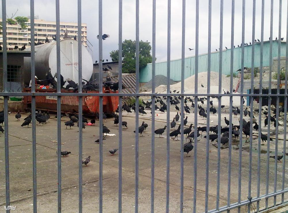 Вид сборища огромных диких хищных птиц в центре города меня мягко говоря напугал до жути. Панама Сити, Панама
