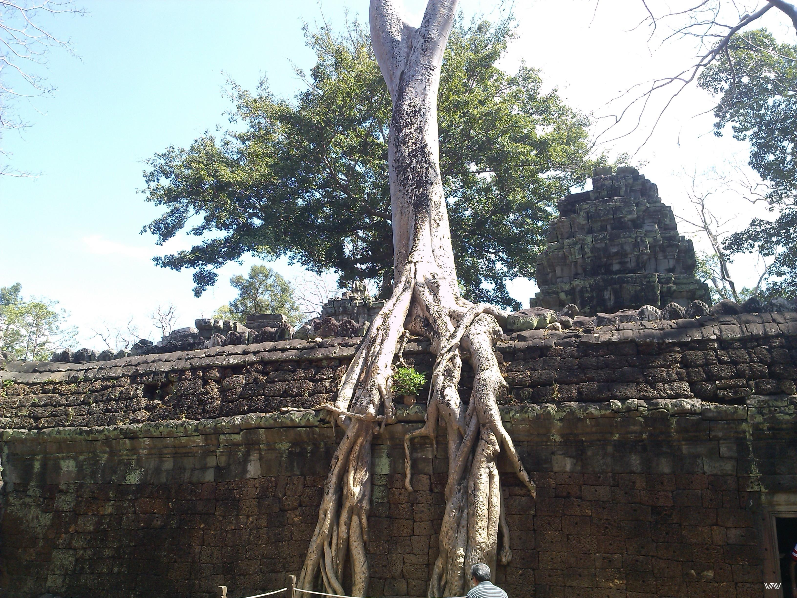 Корни - не самое важное. Главное это твое стремление вверх. Ангкор, Сием Рип, Кампбоджа