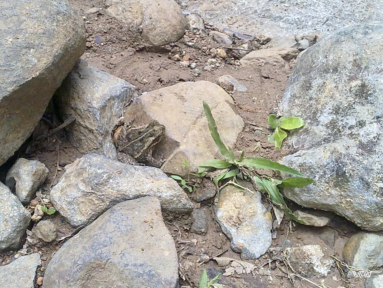 Совсем не пугливая панамская жаба. Кальдера Хот Спрингс, Панама