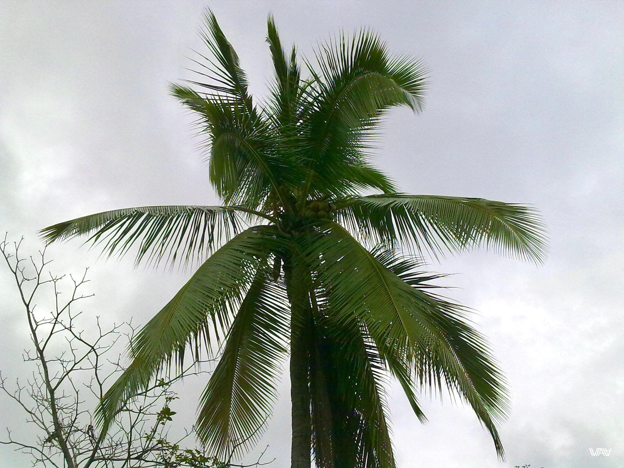 Обожаю пальмы! Лас Лахас, Панама