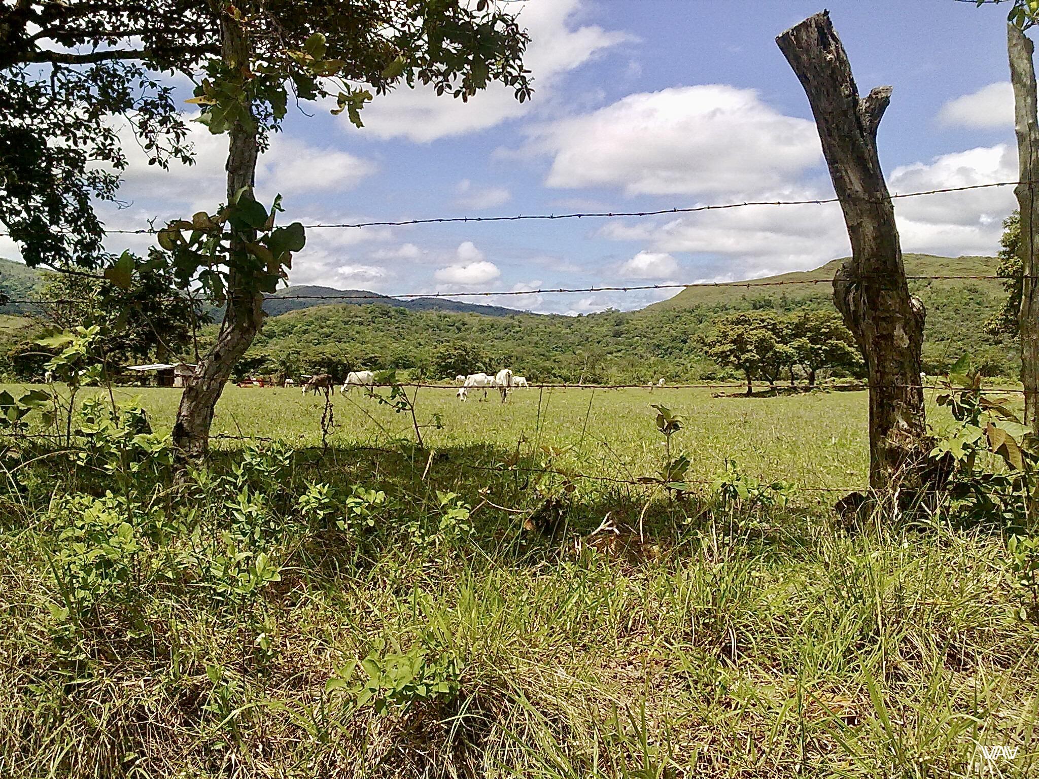 Панамские коровы совсем не похожи на наши. Кальдера Хот Спрингс, Панама