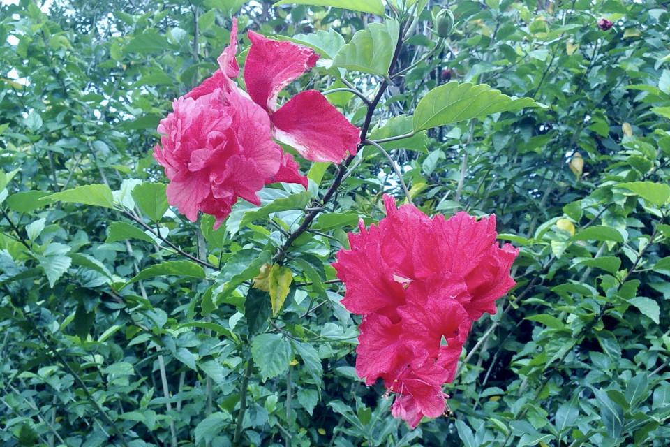 Не оторваться от красоты панамских цветов. Хот Спрингс, Панама