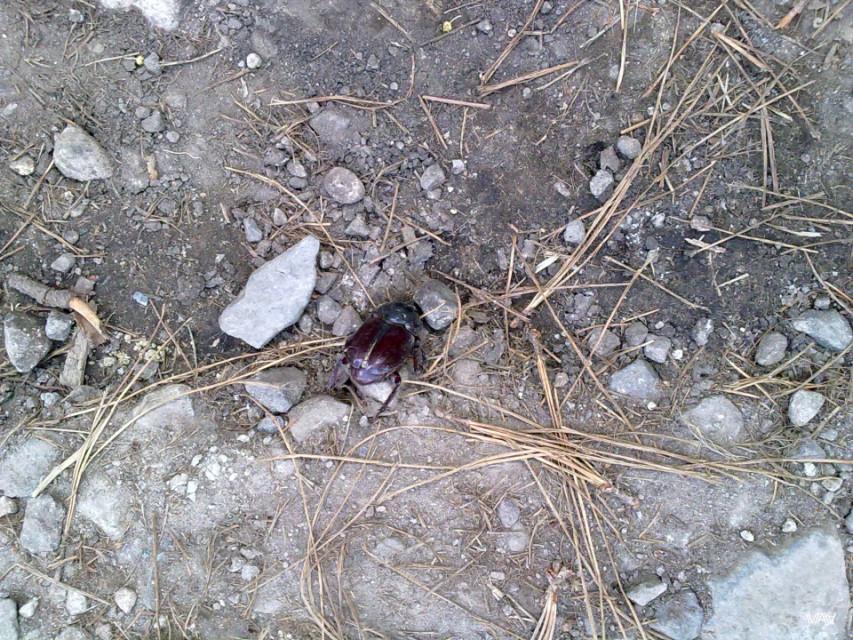 Огроменные жуки здесь в порядке вещей. Бахо Бокетэ, Панама